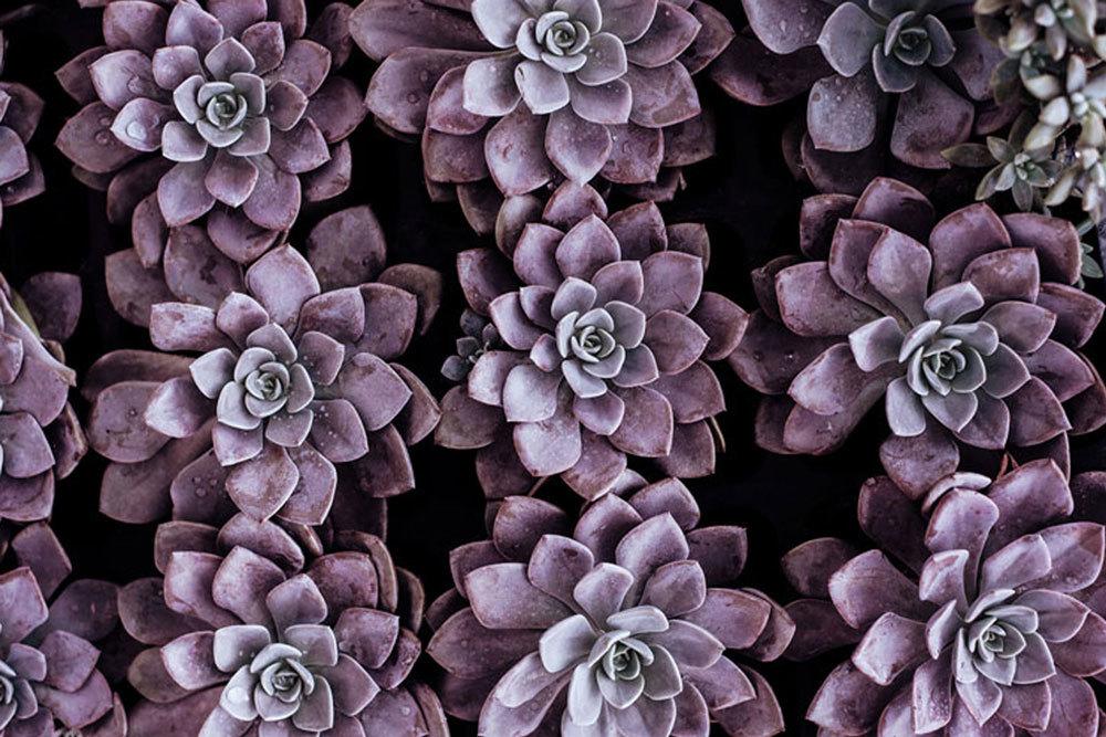 Dr Sarah Davies Purple Succulant Plant